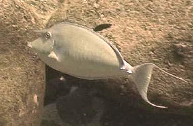 Critters - unicornfish 1